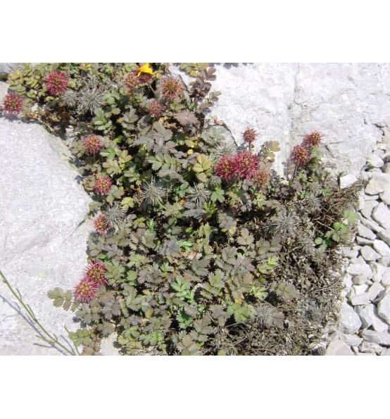 Acaena Microphylla Kupferteppich Acéna Arboretum Paseka Makču Pikču