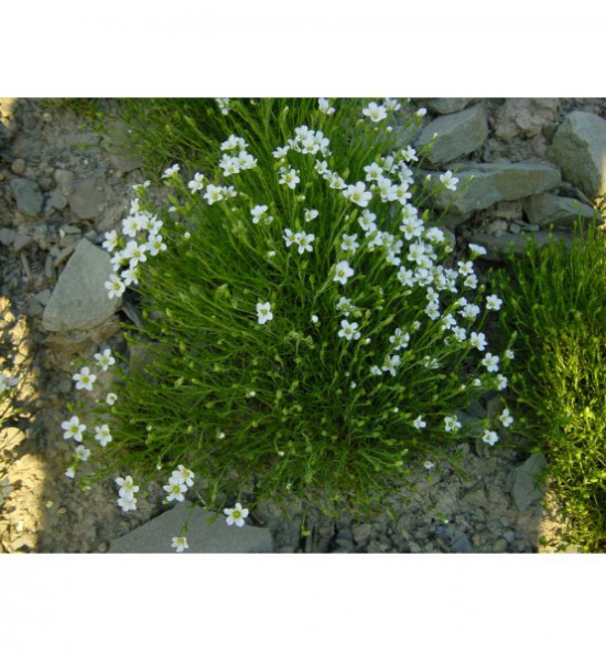 Arenaria grandiflora - písečnice