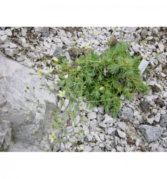 Arenaria ledebouriana - písečnice