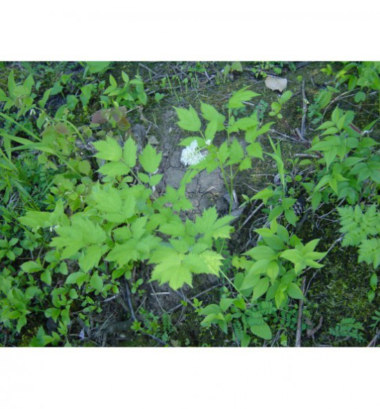 Actea spicata - samorostlík klasnatý