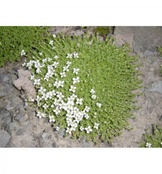 Arenaria tetraquetra - písečnice