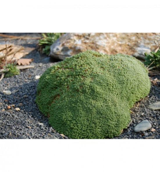 Arenaria lithops - psečnice