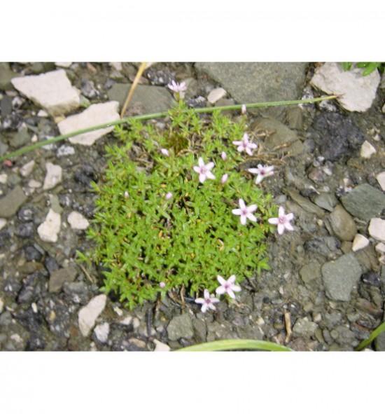 Arenaria purpurascens - písečnice