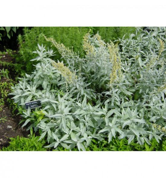 Artemisia ludoviciana - pelyněk