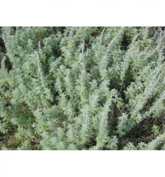 Artemisia pontica - pelyněk pontický