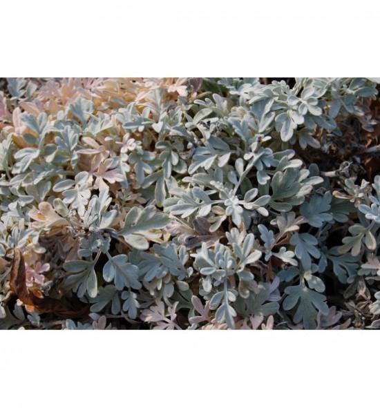 Artemisia stelleriana - pelyněk